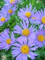 Aster alpinum 'Beauty Blue'
