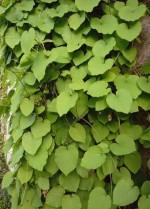 Aristolochia macrophylla (syn. A. durior)