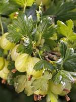 Ribes glossularia