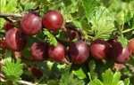Ribes glossularia 'Lepaan Punainen'