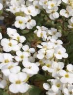 Arabis caucasica 'Little Treasure White'