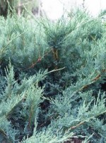 Juniperus sabina 'Blue Danube'