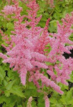 Astilbe chinensis 'Finale'