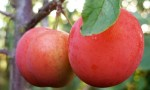 Prunus domestica 'Komēta'
