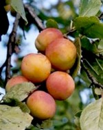 Prunus domestica 'Vilmitar'