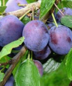Prunus domestica 'Violeta'