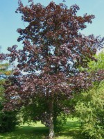 Acer platanoides 'Schwedleri'