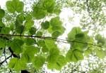 Acer platanoides 'Tharandt'