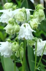 Aquilegia vulgaris 'Winky White White'