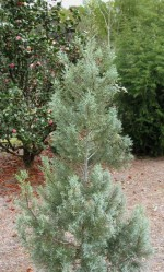 Juniperus communis 'Blue Fox'