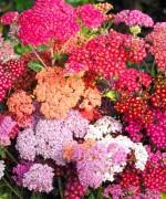 Achillea millefolium 'Summer Beries'