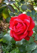Rosa rugosa 'Rheinaupark'