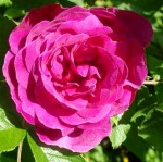 Rosa rugosa 'Sir Henry'