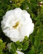 Rosa rugosa 'Sniedze'