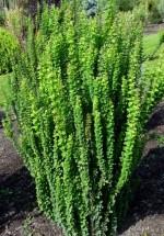 Berberis thunbergii 'Erecta'