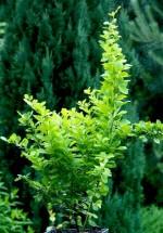 Berberis thunbergii 'Smaragd'